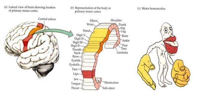 cortexin hipertónia)